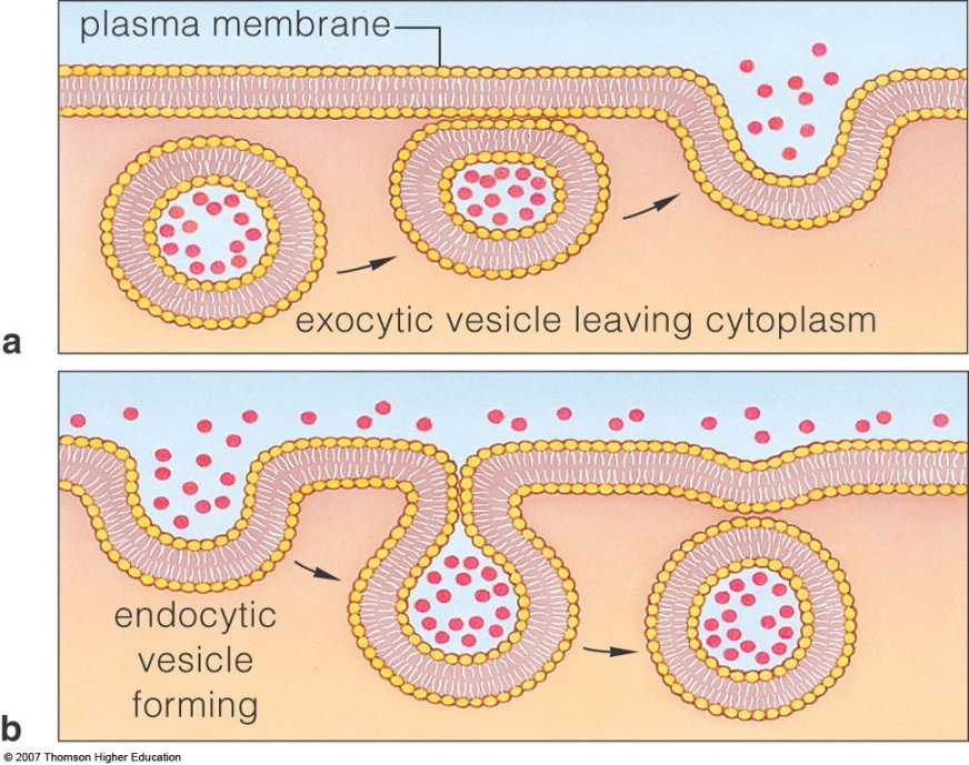 Exocytosis And Endocytosis One Student To Another