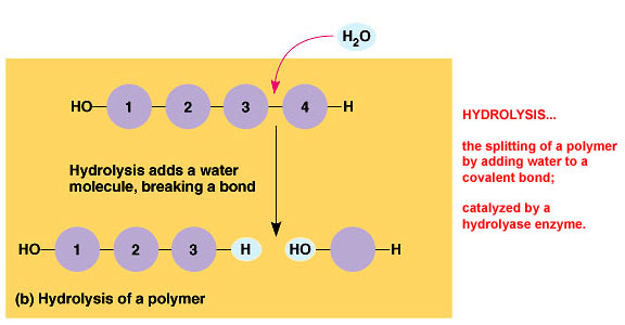 Condensation and HydrolysisHydrolysis Synthesis