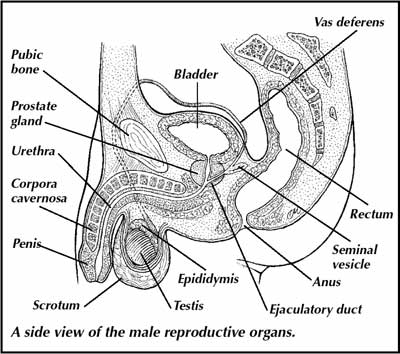 6.6b male reproduction & ivf | i am so, Muscles
