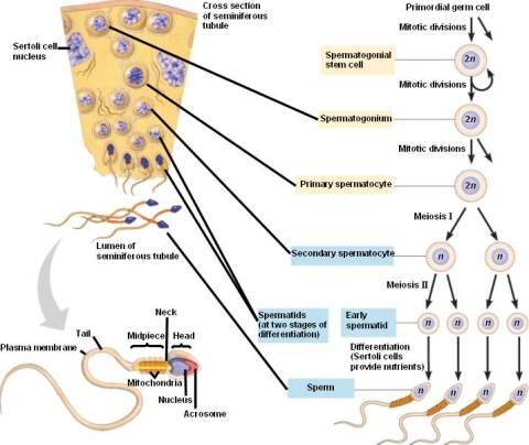 Retrieved from http://4.bp.blogspot.com/-LuVvb0vg6EE/TdGHZFi0ceI/AAAAAAAAABU/z4cP8A0mdto/s1600/Spermatogenesis.jpg